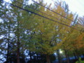 駅東公園の銀杏並木