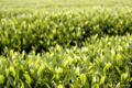八十八夜 茶の新芽