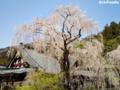 身延山の枝垂れ桜_060409