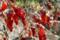 真冬の赤ピーマン_110118