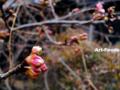 桜の蕾_110217
