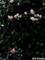 白梅と山茶花_110217