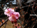 早咲きの桜_110221
