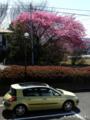 早咲の桜@YDM_110310