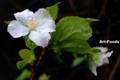 雨中山桜_110921