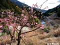 小河内の桜_120311