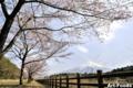 砂防工事道路の桜並木_120413-2