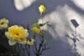 玄関わきの鉢植えミニバラ_121231