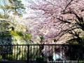 駿府城公園の桜_130325