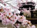 西山本門寺黒門の桜_130331