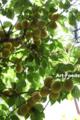 庭の梅2013_130623