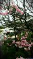 庭の梅_150301