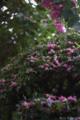 柊と百日紅_150909
