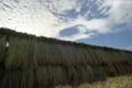 収穫したコメの天日干し_151002