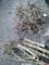 庭のヒイラギ伐採_151122