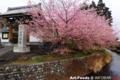 瀧戸山代信寺の桜_160224