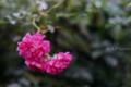 つる薔薇_160528
