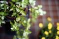 玄関エントランスの鉢植_160528