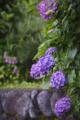 紫陽花_160608