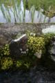 水路のメキシコマンネングサ_160619