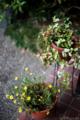 エントランスの鉢植え_160703