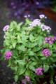 またしても雨の庭(寄せ植え)160923