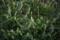 またしても雨の庭(青じそ)_160923