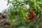 またしても雨の庭(赤ピーマン)160923