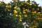 庭の柚子_161120