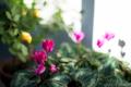 お正月の庭風景2017_170101_シクラメンと黄バラ