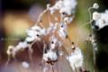 庭の草花_シュウメイギクの綿帽子_170104