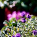 庭の草花_ラベンダー_170104