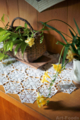 玄関の鉢植えシンビジウム_170219