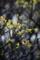 庭の梅の新芽_170411