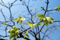 柿の新芽_170414