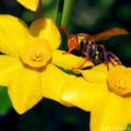 黄スイセンとヒメスズメバチ_170415