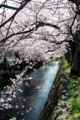 潤井川放水路の桜_170414-2