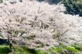 芝川内房の桜_170416_2