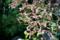 楓の新芽_170423