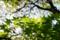 朝陽に輝く楓の新緑_170503