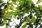 梅の実_170504