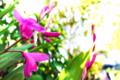 紫蘭_170505