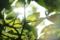 逆光柿の葉ヘリオス44M_170515