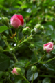 ピンクのミニバラ_170525