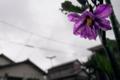 茄子の花_170526