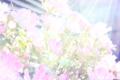 サチュレーションなミニバラ_170528