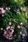 ピンク八重ミニバラ_170530