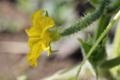 胡瓜の花_170603