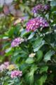 紫陽花_170608