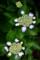 紫陽花_170612